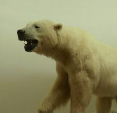 P1100067 (MilesBJordan) Tags: animal animals stuffed dead deadanimals lsu lsutigers mike natural history historic museum