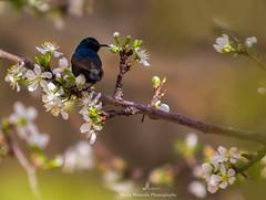 Purple Sunbird Eating Nectar (MoeenMustafa) Tags: purple sunbird nectar animal bird birdphotography wildlife wildanimal