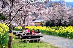 In the Spring Morning (Jennifer 真泥佛) Tags: 京都 櫻花 山科 桜 菜の花 日本 japan sakura 恋人同士 仲間 kyoto morning