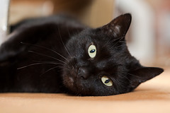 Lilli (rengawfalo) Tags: katze cat tier haustier animal pet eyes black cc100