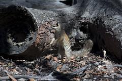 Numbat - Myrmecobius fasciatus (Wildsearch) Tags: dryandrastateforest mammals myrmecobiusfasciatus numbat threatenedspecies vulnerable wa