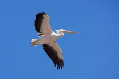 Le vol du Pélican... (mout1234) Tags: animal bird oiseau vol zoo saintaignansurcher centrevaldeloire france fr