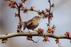 Small birds of the day (4) : Wren Wren Wren ... leaving the branch (Franck Zumella) Tags: wren troglodyte mignon oiseau bird tree arbre color couleur spring printemps sing song chanter chant