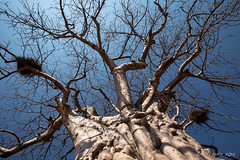 Look Up 8312 (Ursula in Aus) Tags: africa namibia adansonia baobab