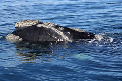 Ballena Franca Austral 4 (pniselba) Tags: ballena ballenafrancaaustral puertopiramides peninsula valdes peninsulavaldes puerto madryn puertomadryn chubut argentina eubalaenaaustralis southernrightwhale whale