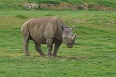 Day Out!! Helen and Isabella,Oliver....Grandad Burling!!! 05.04 336 (SnapAndy1512) Tags: dayouthelenandisabellaolivergrandadburling0504 yorkshire yorkshirewildlifepark rhino blackrhino animals zoo