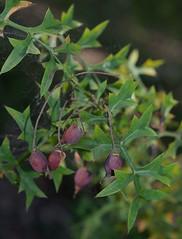 Grevillea flexuosa, Kings Park, Perth, WA, 10/01/17 (Russell Cumming) Tags: plant grevillea grevilleaflexuosa proteaceae kingspark perth westernaustralia