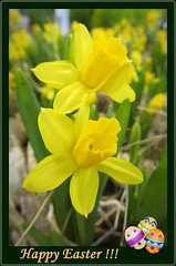 ...for all of you :) (green_lover) Tags: daffodils flowers easter card yellow happyeaster