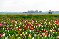 _DSC9231 (durr-architect) Tags: tulip fields flower colour color bulb landscape outdoor field sky grass plant flowerbed bright serene depth garden dronten flevoland water lake dike clouds