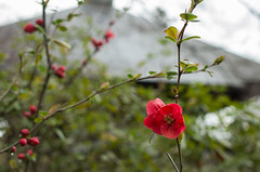 Flowering quince (odeleapple) Tags: pentax k5 lls pentaxda 35mm flowering quince boke blossom