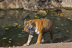 731 Day 4 Tigers (brads-photography) Tags: coolingdown coolingoff female india mala nationalpark noor pantheratigristigris rajasthan ranthambore royalbengaltiger sawaimadhopur sideon standing t39 tiger tigerreserve walking water waterhole wildlife