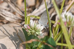 2016 Eastern Tailed-Blue (Cupido comyntas) 9 (DrLensCap) Tags: eastern tailedblue cupido comyntas weber spur trail labagh woods chicago illinois abandoned union pacific railroad right way il bug insect butterfly rails to trails cook county forest preserve district preserves robert kramer