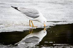 Ring-billed Gull (Turk Images) Tags: hawrelakpark larusdelawarensis ringbilledgull urbanpark breedingseason alberta birds gulls laridae rbgu spring