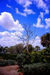 Tree (LarryJay99 ) Tags: cloudysky tree photostream colors flickr lakeworth blue beach clouds foliage lakeworthbeach sign florida scrub deadtree walls wall blues stuffonwalls sky canonefs18135mmf3556is