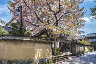 Cherry Blossoms in Samurai Town