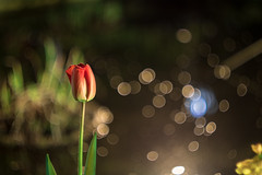 IMG_2039 (::Lens a Lot::) Tags: night bokeh depth field street photography flower color blue pink red yellow green vintage manual prime lens german profondeur de champ extérieur effet plante fleur carlzeissjena fond noir carl zeiss jena biotar t 58mm f2 1q 1952 | 12 blades m42