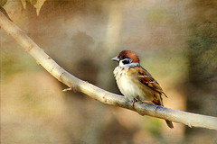Eurasian Tree Sparrow (Passer montanus) (ulli_p) Tags: asia art aworkofart awardtree bird bokeh colours canoneoskissx5 exoticimage flickraward isan light nature ruralthailand southeastasia sparrow thailand texture textured texturedphoto