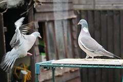 21 April 2017 (47) (AJ Yakstrangler) Tags: yakstrangler pigeon pigeons