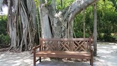 Bench Under A Banyan Tree (Helenɑ) Tags: bench park loveseat garden nature natureza viscaya trees outdoor viscayamuseumgarden miami florida banyantree