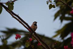 Sweet Bird (Sajjat Hossain Simul) Tags: bird natuer
