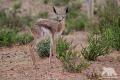 First steps... (fascinationwildlife) Tags: animal mammal prey springbock calf newborn wild wildlife sumna nature natur park kgalagadi kalahari desert south africa südafrika summer transfrontier