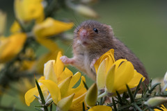 Harvest Mouse (Tim Melling) Tags: harvest mouse micromys minutus timmelling