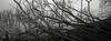 Along the Waterfront, Astoria, Oregon (austin granger) Tags: waterfront astoria oregon trees fallen death pilings columbiariver fog correspondence mind dendrites branches erosion time film xpan