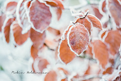 Ice leafs (Pamba-) Tags: winter nature ice frost beautiful netherlands cold icecold canon5dmarkiii canon leaf frosty