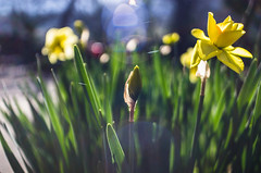 daffodils and flares (Stefano Rugolo) Tags: pentax k5 angle 2017 bokeh yellow backlight green depthoffield lensflare plant garden blooming daffodil outdoor kepcorautowideanglemc28mm128 stefanorugolo