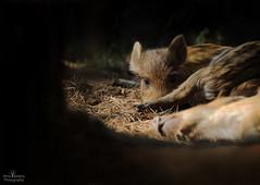 Wild Boar Piglets (Arron Roberts Photography) Tags: pig piglet sleepy nature boar wildlife wild canon forest dean woodland animals mammal