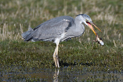 Grey Heron With Frog. (stonefaction) Tags: birds nature wildlife dundee scotland riverside park grey heron frog lochan