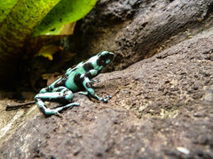 Black and blue frog (Flo Guichard) Tags: frog costa rica colors blue black nature animal amphibian little