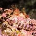 Banded Weedfish, Heteroclinus whiteleggii #marineexplorer