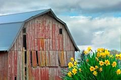 Barn and Daffodils 225 (jim.choate59) Tags: daffodil barn rustic decay ruraldecay overcast spring jchoate peelingpaint mtangeloregon on1pics