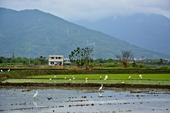 Farms in the East Rift Valley (Mark Tindale) Tags: eastriftvalley 花東縱谷 farms rice paddies waterbirds egret birds water fertile farm mountain overcast valley scenic taiwanribbet public