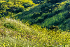 Spring - Morning Light (www.karltonhuberphotography.com) Tags: 2017 karltonhuber light morninglight naturalworld nature outdoors ravine rollinghills rural ruraloc shadows southcounty southerncalifornia spring wildmustard wildflowers