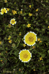 Tidy Tips (Layia patyglossa) (Greatest Paka Photography) Tags: wildflower native flower flora edgewoodpark redwoodcity california sunflower yellow bloom color bokeh layiapatyglossa park drought tidytips preserve nature field