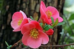 Chaenomeles japonica  (Rosaceae) 073 17 (ab.130722jvkz) Tags: rosaceae chaenomeles gardenflowers