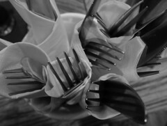 The first  knives & forks of spring (Dave Gallear) Tags: olympus stylus blackandwhite bw monochrome cutlery knives forks