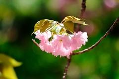 Portrait of sakura (sakemoge) Tags: pink cherry blossom spring japan 桜