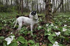 Trillium Time (csnyder103) Tags: dog trillium flowers april poser wildflowers northcarolina petey canoneosm5 canonefm1122