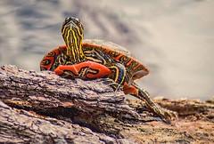 Turtle Power (Doug Wallick) Tags: turtle colorful nature center woodlake richfield minnesota photo walk