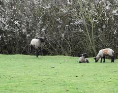 Levitating lamb! (rockwolf) Tags: lamb shropshiresheep levitating boing intheair springlamb mammal uptonmagna shropshire rockwolf
