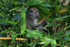 Long-tailed Macaque, Danum Valley, Malaysia, September 2016 (Sterna999) Tags: longtailedmacaque macacafascicularis malaysia borneo river sabah danumvalley affe food plant eating bamboo bambus
