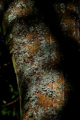 Dark Bark (tiger289 (The d'Arcy dog supporters club)) Tags: eastpreston westsussex villagegreen dogs penangvillagerestaurant flowers trees beach waves breakwaters sea searoad sealane heraldry architecture clockhouse clocktower plaques villagelife cars boules twoacres oakleygardens fungus fungi moss lichen damp mold tree bark