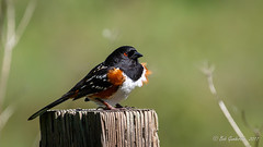 Spotted Towhee (Bob Gunderson) Tags: birds california locationofphoto northbay northerncalifornia pipilomaculatus pointreyes sparrowsjuncostowhees spottedtowhee towhees