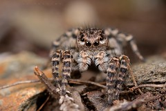 Aelurillus v-insignutus, femelle (Villelongue) (G. Pottier) Tags: aelurillusvinsignutus saltique salticidae araignéesauteuse jumpingspider araignée aelurillus vinsignutus