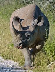 Black Rhino - eating in Etosha National Park, Namibia. (One more shot Rog) Tags: rhinos rhino blackrhino black big tough rhinocerous large affica namibia safari etoshanationalpark browsers grass horn rhinohorn wildlife africaafrican rhinoceros