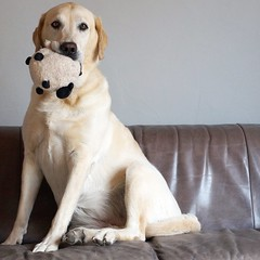 Iva (glaserei) Tags: labrador labi goldie retriever iva hunde hund haustier