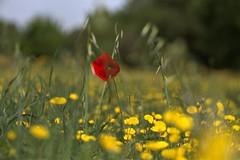 coquelicot (chriskatsie) Tags: flower poppy coquelicot champ nature rouge wind vent